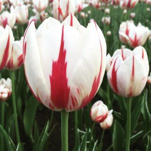 One Tulip, One Canada